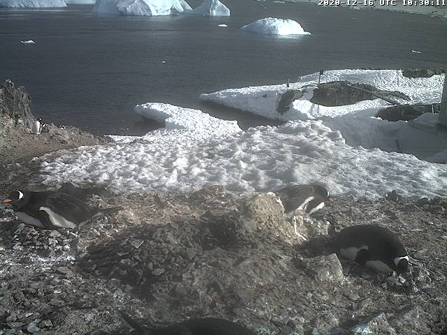 O'Higgins webcam - Gentoo Penguins webcam, Antarctic Peninsula, Antarctic Peninsula